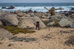 (troubleofchaos) Tags: chile winter sea dog beach mar waves schnauzer playa rocas puntadetralca roquerio