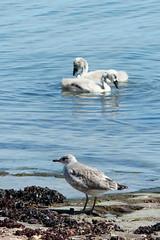 Msunge & Svanungar (evisdotter) Tags: beach nature birds cygnets fglar gullchick sooc msunge svanungar