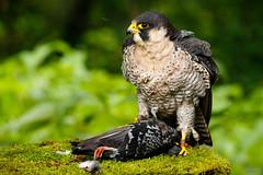 Fluff (zarlock81) Tags: birds scotland wildlife falcon balloch lochlomond peregrine schottland peregrinefalcon falcoperegrinus wanderfalke vereinigtesknigreich