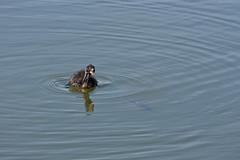Estany del Remolar, Delta del Llobregat (esta_ahi) Tags: barcelona españa joaquim fauna spain aves estany baixllobregat elpratdellobregat acuática remolar deltadelllobregat испания estanydelremolar