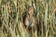 DSC07441 (simonbalk523) Tags: snipe nature birds arundel wetlands lakes sony tamron photography sussex wildlife wild animals