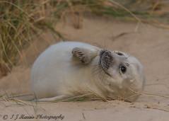 Smile (ian._harris) Tags: d750 sigma 500mm horsey seal bech beach december norfolk nikon sand nature wildlife animals naturephotography natur coast life flickr cute outside naturaleza