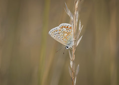 chasing the blues (Emma Varley) Tags: butterfly commonblue summer westsussex