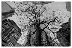 ... (amisuradiniente) Tags: blackandwhite old illustration history tree builtstructure urbanscene architecture oldfashioned isolated paintedimage buildingexterior blackcolor art drawingartproduct retrostyled sketch isolatedonwhite city london londra