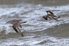Knot / Turnstone (Dougie Edmond) Tags: southayrshire scotland unitedkingdom gb bird wader nature wildlife water beach