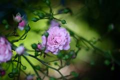 Small Pink Rose      Rodenstock Heligon  50mm F 2.0 (情事針寸II) Tags: クローズアップ 自然 花 薔薇 closeup pink oldlens bokeh nature fleur flower rose rodenstockheligon50mmf20