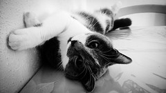 Animaux... Animals... PSP**** (Isabelle****) Tags: psp animaux animals noiretblanc blackandwhite chat cat ions
