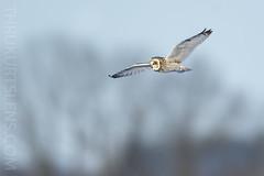 Into the Wild Blue Yonder! (ThruKurtsLens.com) Tags: 2019 flying kurtwecker nature naturephotographer seos thrukurtslenscom wildlifephotographer wildlifephotography winter
