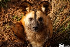African Painted Dog 1 (Mike House Photography) Tags: african painted dog africa hunting wild wolf cape canid subsahara sahara subsaharan endangered species conservation zoo park chester cheshire safari animal animals mammals mammal black orange white ears snout whiskers water waterside edge