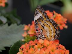 papillon orange (vtossuma) Tags: papillon animal orange fleur nature