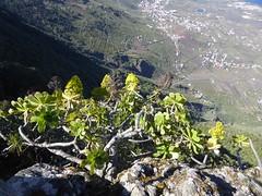 Aeonium arboreum (L.) Webb & Berthel. (Peter M Greenwood) Tags: elhierro aeoniumarboreum aeonium arboreum