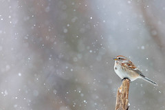 American Tree Sparrow (miketimmonsphoto.com) Tags: mike timmons aba indiana bird nature wildlife sparrow miketimmons