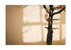 Attentive Listener (Thomas Listl) Tags: thomaslistl color 35mm flora plant tree leaves branches romantic wall light shadow lightandshadow lines mood atmosphere bright shade yellow