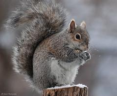 Snacking (John Neziol) Tags: jrneziolphotography portrait animal animalphotography wildlife outdoor photography squirrel snow greysquirrel closeup brantford beautiful bright bokeh naturallight nikon nature mammal