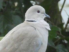 Collared Dove (ART NAHPRO) Tags: collared dove sussex march 2019