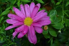 Purple rain... 💜 (Mona Zimba) Tags: tangledfx rain flower purple nature green droplet springtime