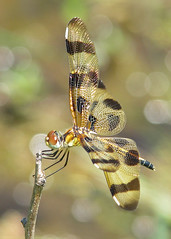 a bubbly Halloween pennant - adult female (Vicki's Nature) Tags: halloweenpennant female dragonfly bronze brown golden shimmering bokeh dof water biello georgia vickisnature canon s5 0365 returnfragile
