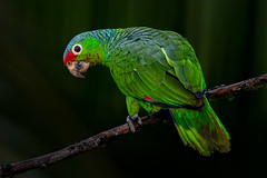 Red-lored Parrot-246-Edit (Eric Gofreed) Tags: costarica redloredparrot parrot amazonaautumnalis