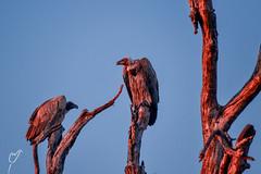 Sunrise at Kruger National Park South Africa (wardkeijzer_107) Tags: bird vultures nikon d3100 flickr sunrise sunlight dawn red animals birds desert