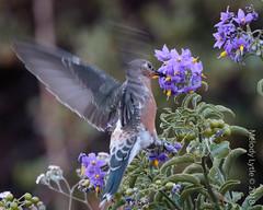 Giant Hummingbird (karenmelody) Tags: animal animals apodiformes bird birds chile gianthummingbird hummingbird hummingbirds location patagonagigas regiónmetropolitana trochilidae vertebrate vertebrates yerbalocaquebradaloslunes