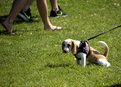 Beagle Puppy (Mike McCall) Tags: copyright2019mikemccall photography photo image usa culture southern america thesouth unitedstates northamerica south georgia stpatricksdayrugbytournament stpatrick day rugby tournament game sport sports field pitch football savannah chatham county documentary editorial side daffin park daffinpark parkside