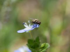 Fly (jantoniojess) Tags: insecto insect flores flor flower petal pétalos fly mosca alas wings nature naturaleza panasoniclumixg80 bokeh macro macrofotografía