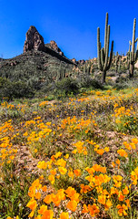 Arizona Spring Time (Buck--Fever) Tags: arizona arizonaskies arizonadesert arizonawonders saguaros saguaro saguarocactus poppies mexicangoldpoppies mountains mountain landscape canon60d nature flowers wildflowers centralarizona