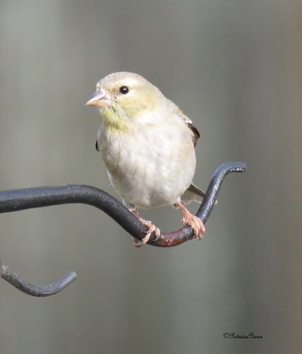female goldfinch7