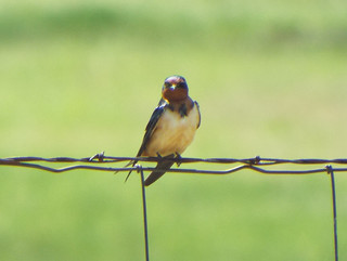 Barn Swallow, Joe J. and Patricia D. Stone Park, Sachse, Texas, March 25, 2019