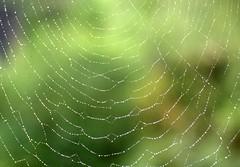 Monsoon season (Paolo Levi) Tags: spiderweb dew darjeeling monsoon westbengal india canon ftb fd 135mm ilfochrome