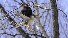 Épervier de Cooper /Cooper's Hawk (richard.hebert68) Tags: nikon z7 300mmf4pf domainemaizerets bleu forêts paysage arbre québec canada