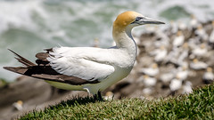 Sentinel (Stefan Marks) Tags: animal australasiangannet bird colony depthoffield gannet grass morusserrator nature outdoor aucklandwaitakere northisland newzealand
