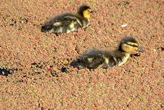 Ducklings on the brown canal (Tony Worrall) Tags: birds wild wildlife outdoor bird nature natural north update place location uk england visit area attraction open stream tour country item greatbritain britain english british gb capture buy stock sell sale outside outdoors caught photo shoot shot picture captured ilobsterit instragram canal brown weeds baby duckling wet water