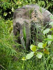 Pygmy Elephant (iamfisheye) Tags: asian olympus elephant kinabatanganriver endangered palmoil borneoapril2018 camera borneanpygmyelephant boat kit mkii em1 animal