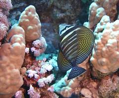 Zebrasoma desjardinii (kmlk2000) Tags: redsea merrouge hurghada safaga egypt egypte vacation underwater uwpics sealife underwaterworld ocean sea colorfull fish poisson dc2000