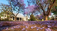 Robertson Jacaranda Low (Panorama Paul) Tags: paulbruinsphotography wwwpaulbruinscoza southafrica westerncape robertson jacarandatrees purple nikond800 nikkorlenses nikfilters