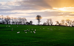 Grazing Sheep (iancubitt) Tags: green sheep nature landscape ireland sky clouds grass m43 micro43 northernireland trees travel field tree