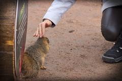 Squirrel, Morton Arboretum. 444 (EOS) (Mega-Magpie) Tags: canon eos 60d outdoors nature wildlife squirrel the morton arboretum lisle il illinois usa america people person lady gal woman dupage