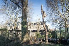 2019-01-18-12h36m59.IMG_3351 (A.J. Haverkamp) Tags: akili canonefm1855f3556isstmlens amsterdam zoo dierentuin httpwwwartisnl artis thenetherlands gorilla pobfrankfurtgermany dob16101994 boom tree