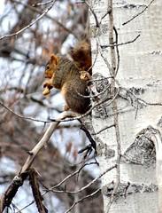 Squirrel (EcoSnake) Tags: squirrels easternfoxsquirrel rodents wildlife animals trees winter january idahofishandgame naturecenter