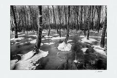Frozen01 (siggi.martin) Tags: europa europe deutschland germany bayern bavaria winter kalt cold schnee snow eis ice schmelzwasser meltwater gefroren frozen baum tree bäume trees baumgruppe grove überschwemmt flooded