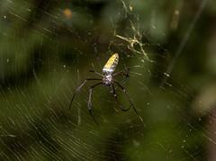 Nephila sp. at Akanin'ny Novy S24A9976 (grebberg) Tags: akaninnynovy madagascar october 2018 goldenorbspider spider orbspider nephila