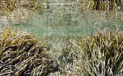 Posidonia (Xavier Mas Ferrá) Tags: posidonia posidoniaoceanica reflejo underwater eivissa ibiza seagrass mediterraneansea mediterráneo baleares patrimonio patrimoniomundial