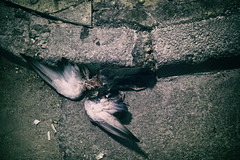 wings (Al Fed) Tags: 20181111 athen athens greece wings pavement dead bird broken crushed night street gutter
