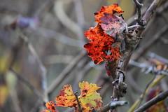 Tardor a la vinya (esta_ahi) Tags: santmartísarroca vinya viña viñedo vineyard vitisvinifera pàmpols tardor hojas otoño penedès barcelona spain españa испания