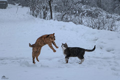 Britney Taking Off ❅❅❅ (Xena*best friend*) Tags: britney bs georgeclooney gc flyingcats madcats crazycats jumpingcats gingercats cats whiskers feline katzen gatto gato chats furry fur pussycat feral tiger pets kittens kitty animals piedmontitaly piemonte canoneos760d italy wood woods wildanimals wild paws calico markings ©allrightsreserved purr digitalrebelt6s efs18135mm flickr outdoor animal pet photo nature winter cold catlover snow frozen freezing winterwonderland ilovewinter ilovesnow catsinthesnow catshavingfuninthesnow wonderfulwinter snowcat lolcats roflcats