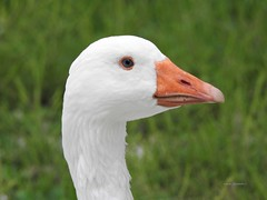 White Goose with Orange Beak (Anton Shomali - Thank you for over 2 million views) Tags: 66 route66 swan bird goose white with orange beak picture taken kankakee river near wilmington illinois rover county nature water big eye nose mouth feathers city route us usa nikon coolpix p900 nikoncoolpixp900 bigbird largebird camera photo