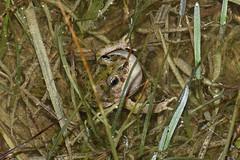 Iberian Parsley Frog (Pelodytes ibericus) (Sky and Yak) Tags: iberian parsley frog pelodytes ibericus pelodytesibericus amphibian andalusia andalucia nature naturalworld reptilesandamphibians calling call throat flood water pond espagne granada