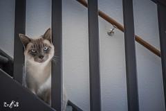 Mr. Mackey BlueEyes (Siamese lilac point) (Renate van den Boom) Tags: 02febuari 2019 europa gelderland jaar katten maand mack nederland nijmegen renatevandenboom thuis