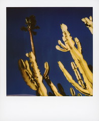 Cactus Palm (tobysx70) Tags: polaroid originals color sx70 instant film sx70sonar sonar cactus palm bronson avenue hollywood los angeles la california ca cacti green succulent plant tree blue sky toby hancock photography